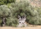 Garo's Olive Grove